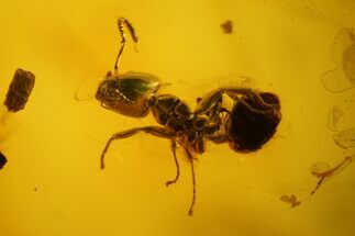 Family Formicidae (Ant), Order Diptera (Fly) & Subclass Collembola (Springtail) - Fossils For Sale - #142245