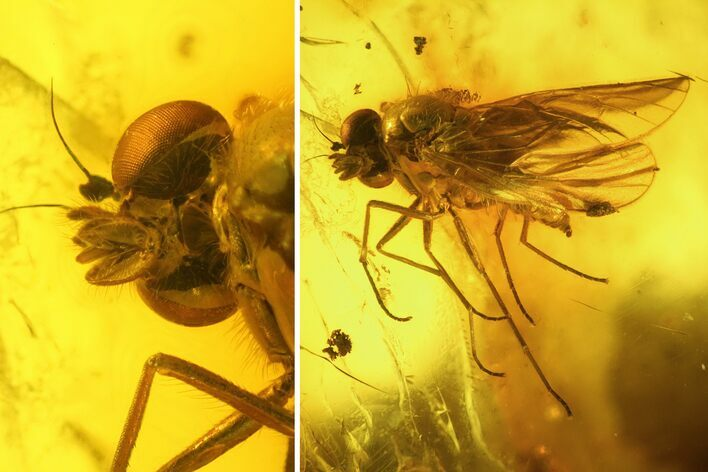 Detailed Fossil Caddisfly and Five Flies in Baltic Amber