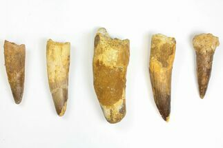"Buy Lot: 2.6 to 3.9"" Bargain Spinosaurus Teeth - 5 Pieces - #141589"