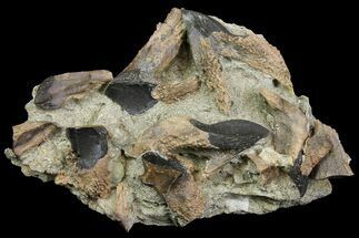 Triceratops horridus - Fossils For Sale - #142749