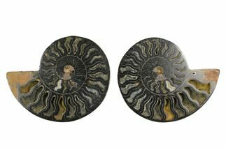 "4.65"" Cut/Polished Ammonite Fossil (Pair) - Unusual Black Color For Sale, #132701"