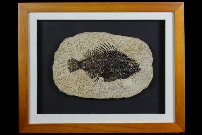 "4.6"" Framed Fossil Fish (Cockerellites) - Wyoming"