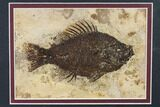 "5.5"" Framed Fossil Fish (Cockerellites) - Wyoming - #143990-1"