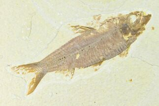 "Buy 4.15"" Fossil Fish (Knightia) - Wyoming - #144193"