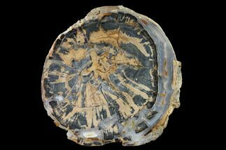 "9.2"" Petrified Wood (Schinoxylon) Round - Blue Forest, Wyoming For Sale, #144683"