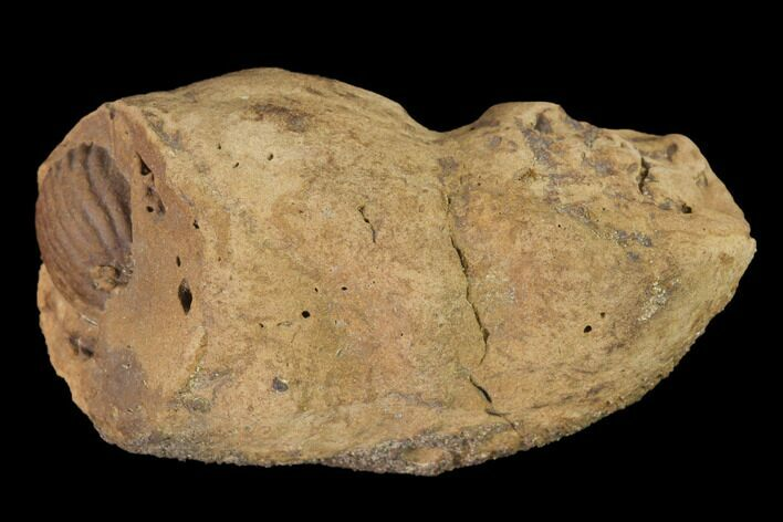 "2"" Cretaceous Coprolite (Poop) With Seed? - Judith River Formation"