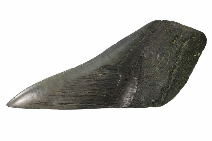 "5.5"" Partial, Fossil Megalodon Tooth ""Paper Weight"""