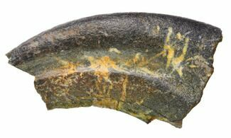 Unidentified Theropod  - Fossils For Sale - #144897