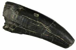 Albertosaurus, Gorgosaurus or Daspletosaurus  - Fossils For Sale - #145014