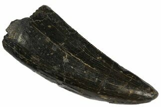 "1.56"" Tyrannosaur Tooth - Two Medicine Formation For Sale, #145016"
