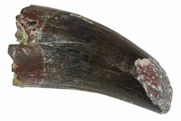 ".72"" Fossil Phytosaur Tooth - Arizona"