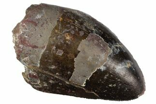 "Serrated, 1.5"" Fossil Phytosaur Tooth - Arizona For Sale, #145010"