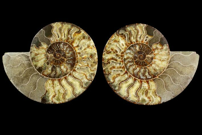 "10.5"" Agatized Ammonite Fossil (Pair) - Very Large"