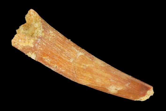 "Bargain, 1.15"" Fossil Pterosaur (Siroccopteryx) Tooth - Morocco"