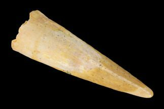 ".78"" Fossil Pterosaur (Siroccopteryx) Tooth - Morocco For Sale, #145205"