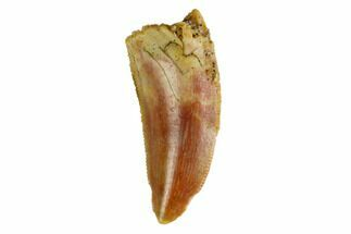 "Serrated, .85"" Raptor Tooth - Real Dinosaur Tooth For Sale, #144647"