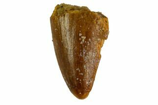 "Buy .58"" Unusual Crocodylomorph Tooth - Morocco - #144673"