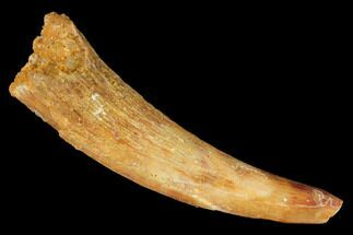 "1.34"" Fossil Pterosaur (Siroccopteryx) Tooth - Morocco For Sale, #145793"