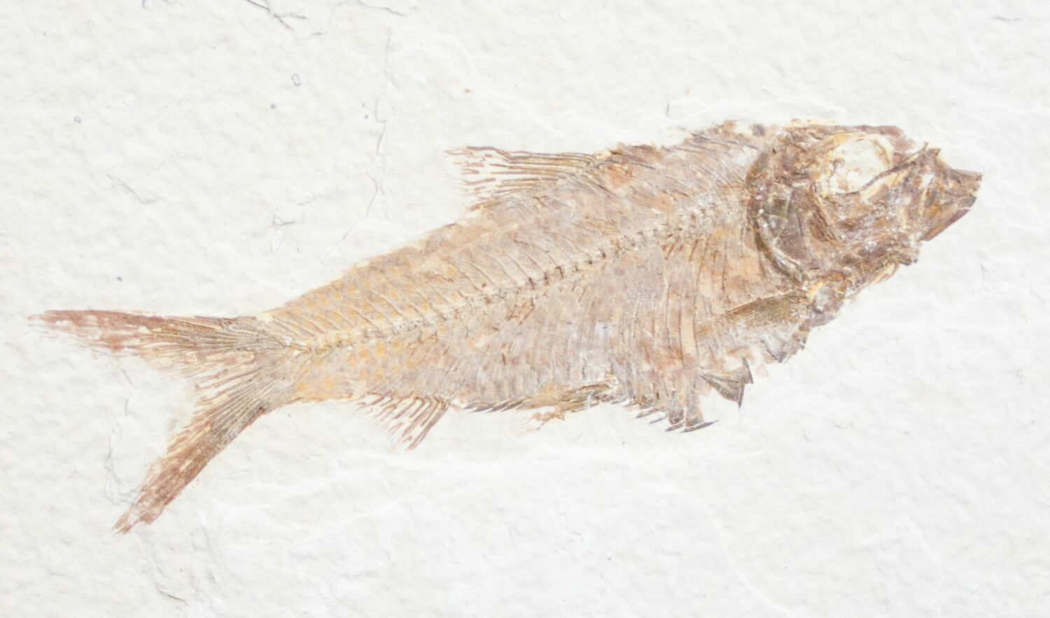 3 4 knightia fossil fish wyoming for sale 10027 for Fish fossils for sale