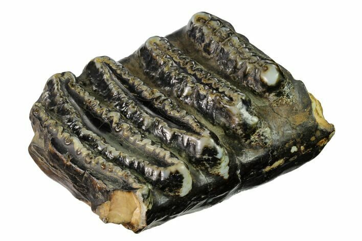 "4.6"" Partial Stegodon Molar - Indonesia"