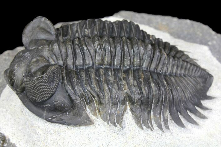 "2"" Coltraneia Trilobite Fossil - Huge Faceted Eyes"