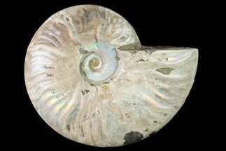 Cleoniceras sp. - Fossils For Sale - #146334