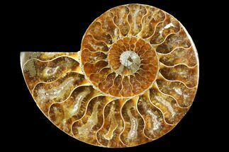 "Buy 3.15"" Cut & Polished Ammonite Fossil (Half) - Agate Replaced - #146155"