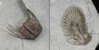 Thysanopeltis sp. & Leonaspis sp. - Fossils For Sale - #146769