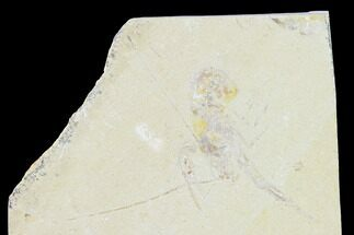 Pseudostacus hakeliensis - Fossils For Sale - #147042