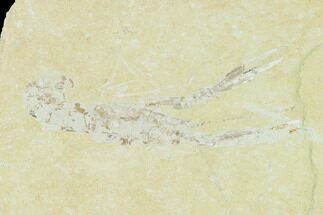 "3.6"" Cretaceous Lobster (Pseudostacus) Fossil - Lebanon For Sale, #147053"