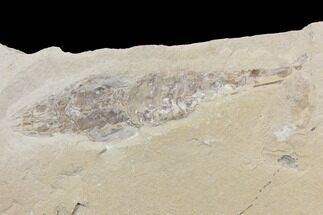 "3.35"" Cretaceous Fossil Shrimp - Lebanon For Sale, #147242"
