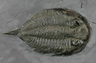 "Buy 2.3"" Dalmanites Trilobite Fossil  - New York - #147262"