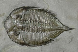 Dalmanites limulurus - Fossils For Sale - #147288