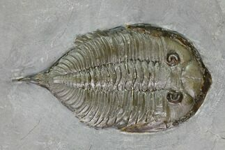 Dalmanites limulurus - Fossils For Sale - #147303