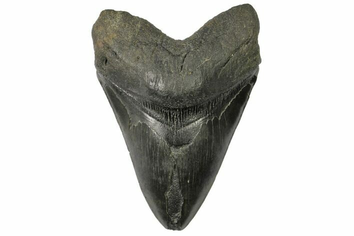 "6.41"" Fossil Megalodon Tooth - Monster Meg Tooth!"
