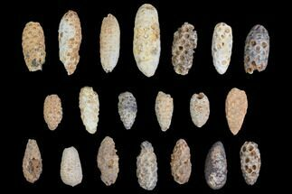 Lot: Fossil Seed Cones (Or Aggregate Fruits) - 20 Pieces For Sale, #148844