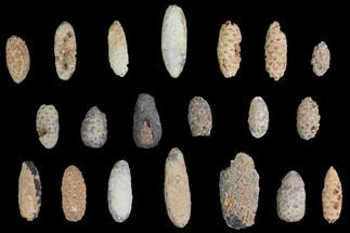 Lot: Fossil Seed Cones (Or Aggregate Fruits) - 20 Pieces For Sale, #148847