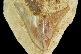 Serrated, Fossil Megalodon Tooth Still In Limestone - Indonesia For Sale, #148973