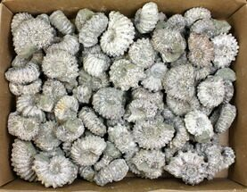 Wholesale Fossils For Sale