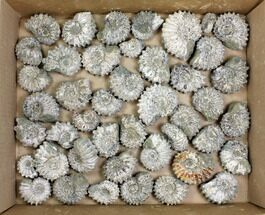 Buy Lot: 10 Lbs Bumpy Ammonite (Douvilleiceras) Fossils - 44 pieces - #148843