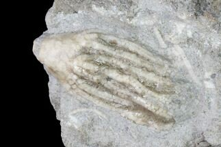 "Buy .7"" Fossil Crinoid (Aorocrinus) - Gilmore City, Iowa - #149026"