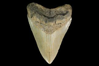 "Buy 4.09"" Serrated, Fossil Megalodon Tooth - North Carolina - #147493"