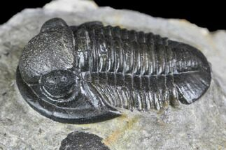 "Buy Bargain, .65"" Detailed Gerastos Trilobite Fossil - Morocco - #145753"