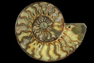 "Buy 8"" Cut & Polished Ammonite Fossil (Half) - Madagascar - #149608"