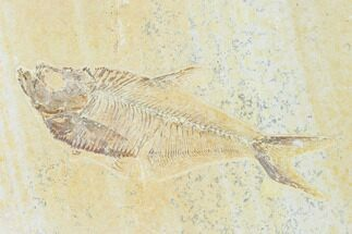 "Buy 5.2"" Fossil Fish (Diplomystus) - Green River Formation - #149821"