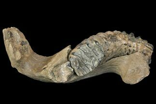 Mammuthus meridionalis - Fossils For Sale - #149835