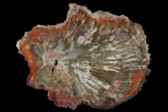 "9.65"" Polished Petrified Wood (Araucaria) Round - Arizona"