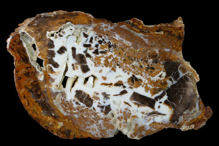 "8.2"" Petrified Wood (Sycamore) Round - Parker, Colorado"