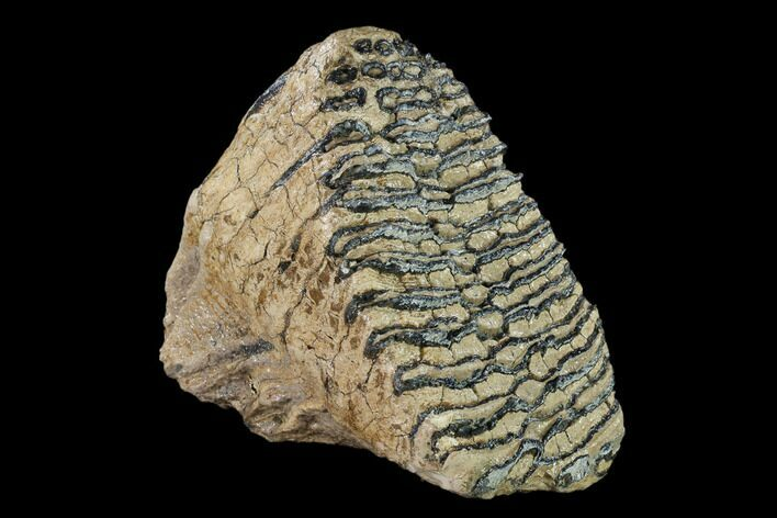 "6.45"" Fossil Woolly Mammoth Upper M2 Molar - North Sea Deposits"
