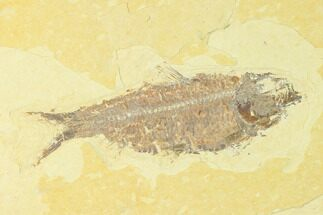 "Buy 4.6"" Fossil Fish (Knightia) - Wyoming - #150343"